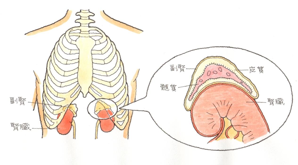 image2 急性副腎皮質不全は、副腎の外傷を原因としたステロイド・ホルモン、コルチゾール不足で